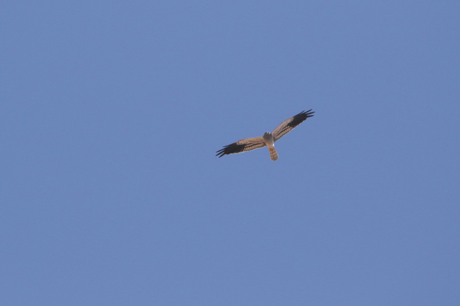 Montagu's Harrier - male