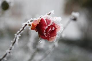 http://www.doityourself.com/stry/rosebushcare