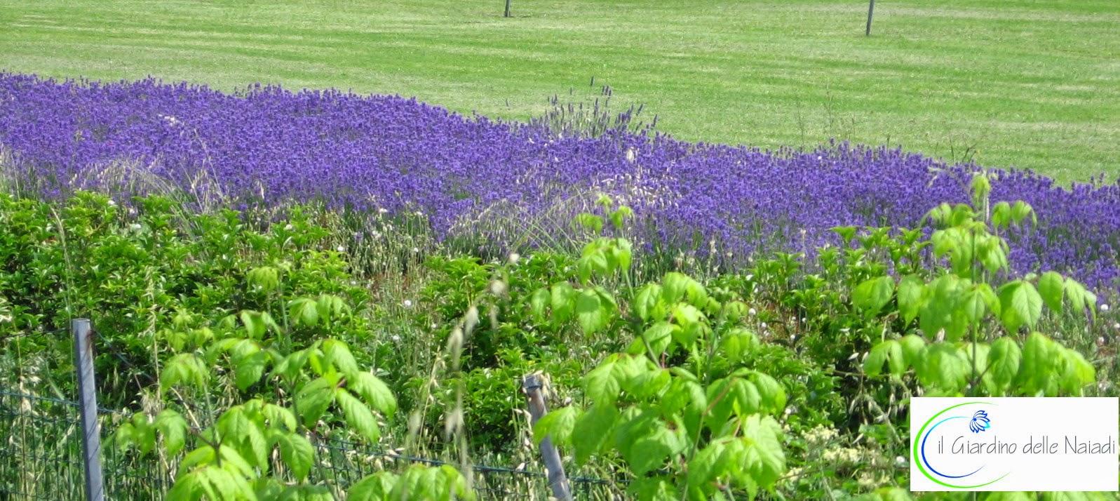 Il giardino delle naiadi un giardino in stile provenzale - Lavanda clima ...