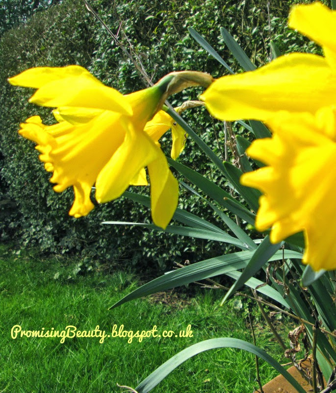 Daffodils or jonquils, yellow and beautiful flowers in a british garden in psringtime. Spring flowers.