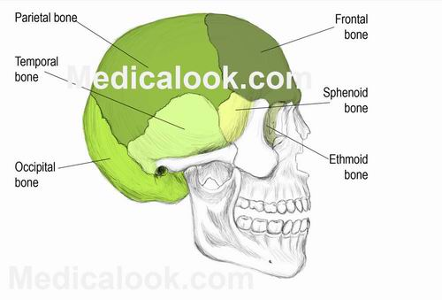 bones of the skull ~ anatomy for msp, Human Body