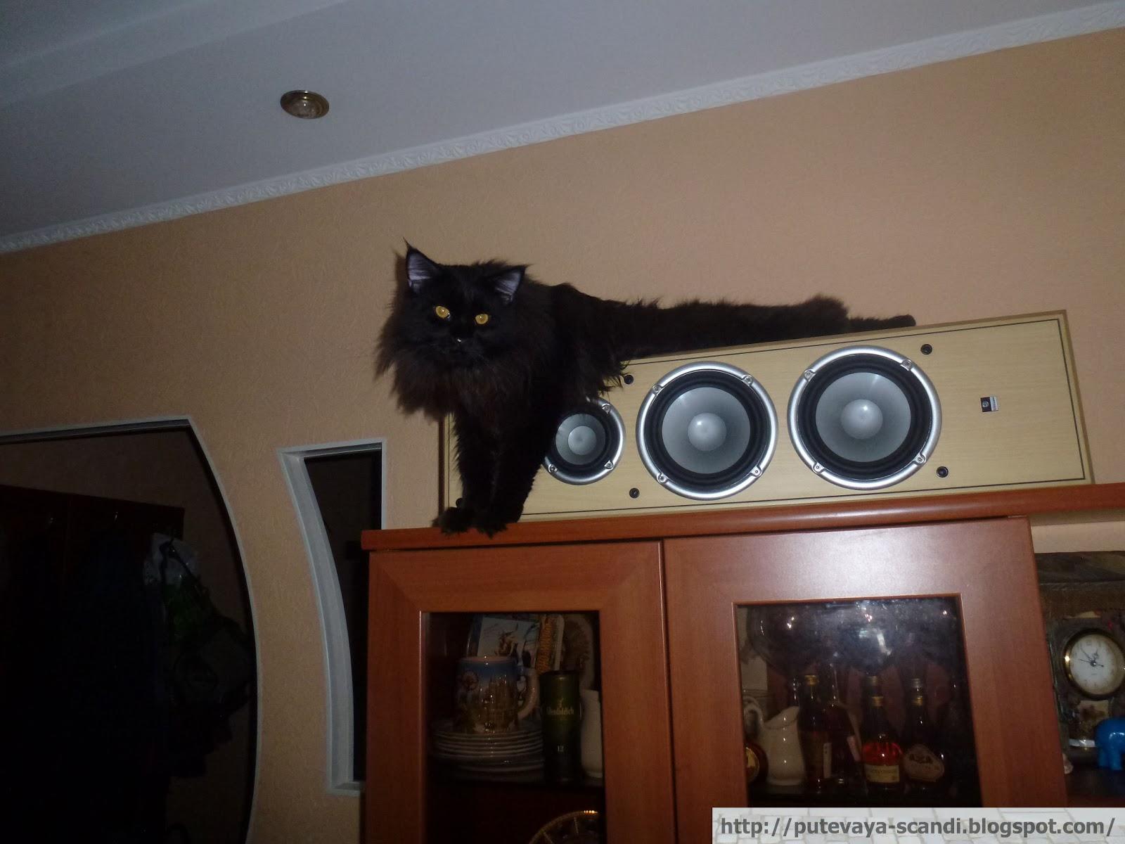 кот отечественный домашний