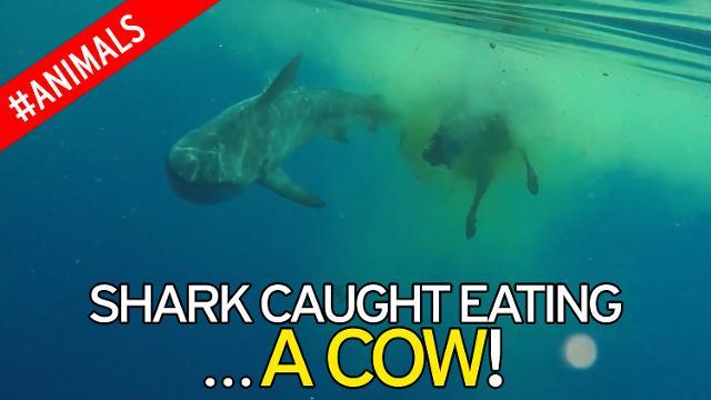 Απίστευτο και όμως συνέβη στον Ινδικό ωκεανό. Καρχαρίας κατασπάραξε αγελάδα που μάλλον έπεσε από φορτηγό πλοίο (βίντεο)