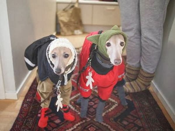 Cute dogs - part 7 (50 pics), two greyhounds wear jackets