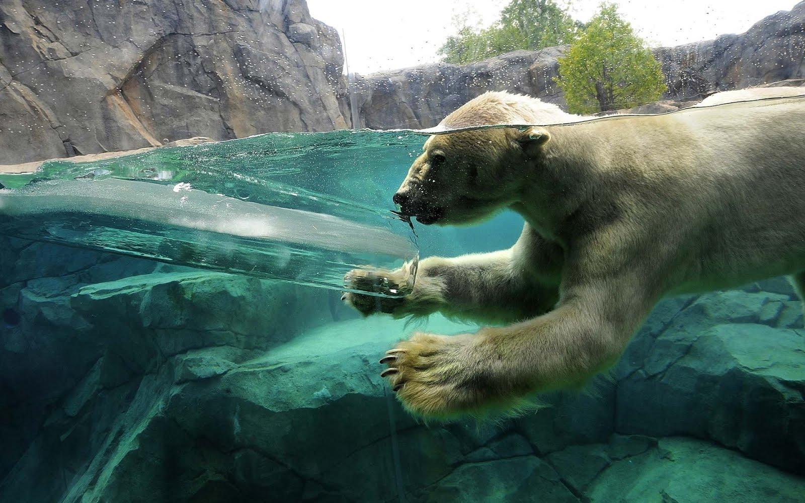 http://4.bp.blogspot.com/-wH5u1abqVxw/UJcO-vms8PI/AAAAAAABOkA/drEQQLyJdyc/s1600/polar-bear-swimming-1920x1200-wallpaper-oso.jpg
