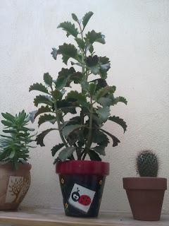 succulent, kalanchoe
