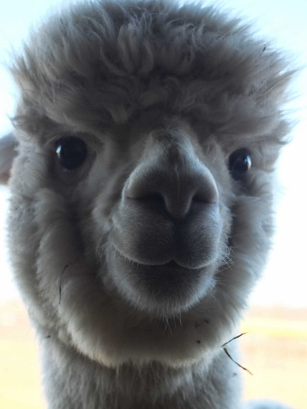 Funny animals of the week - 13 December 2013 (40 pics), beautiful alpaca pic