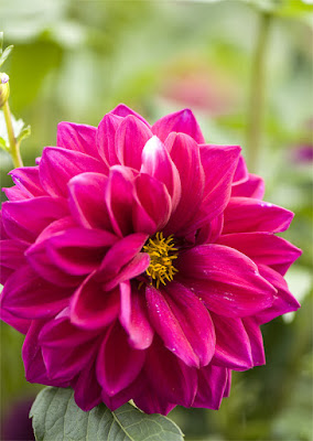 Cvet rože
