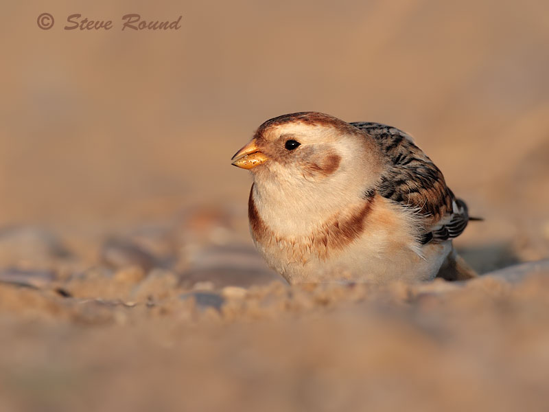snow bunting, bird, nature wildlife