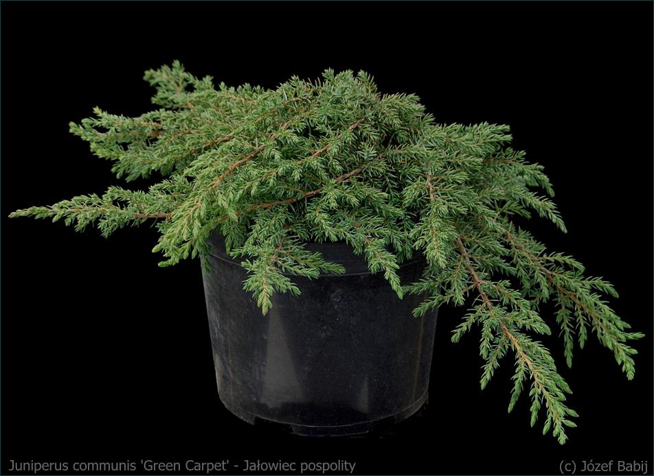 Juniperus communis 'Green Carpet' - Jałowiec pospolity 'Green Carpet' pokrój