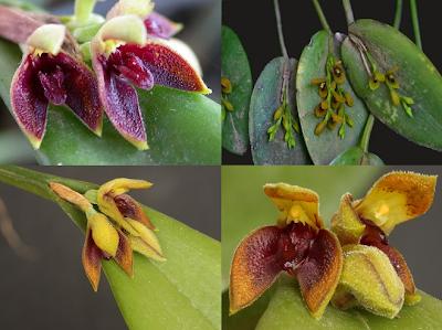 orquideas-raras