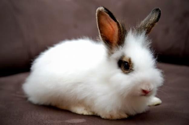 gambar hewan - foto kelinci anggora