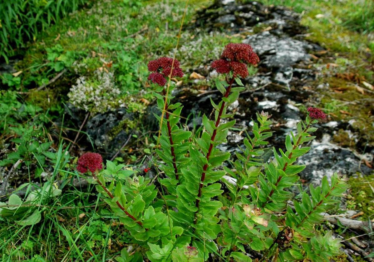 Jardin de la roche fleurie encore des orpins for Jardin encore