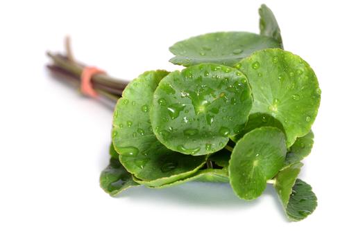 planta de la centella asiatica o gotu kola