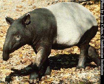 tapir pic