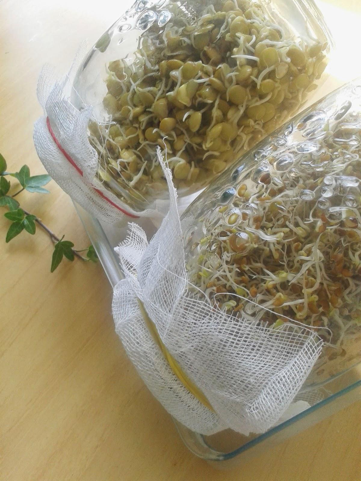 brotes de alfalfa y lentejas