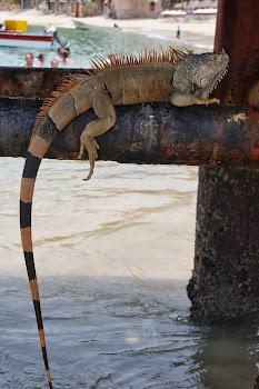 Iguana on the Pier