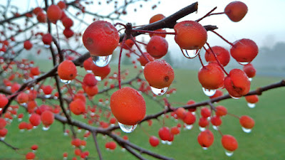 morning dew drops on the red berries of a tree