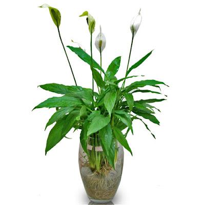 trồng cây lan ý