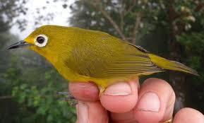 Cara Memilih Bakalan Burung Pleci Berkualitas