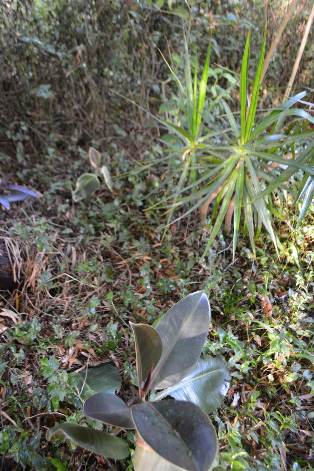 Ficus Elastica, hoja negra y hoja variegada