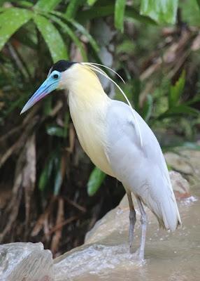 Garza capirotada: Pilherodius pileatus