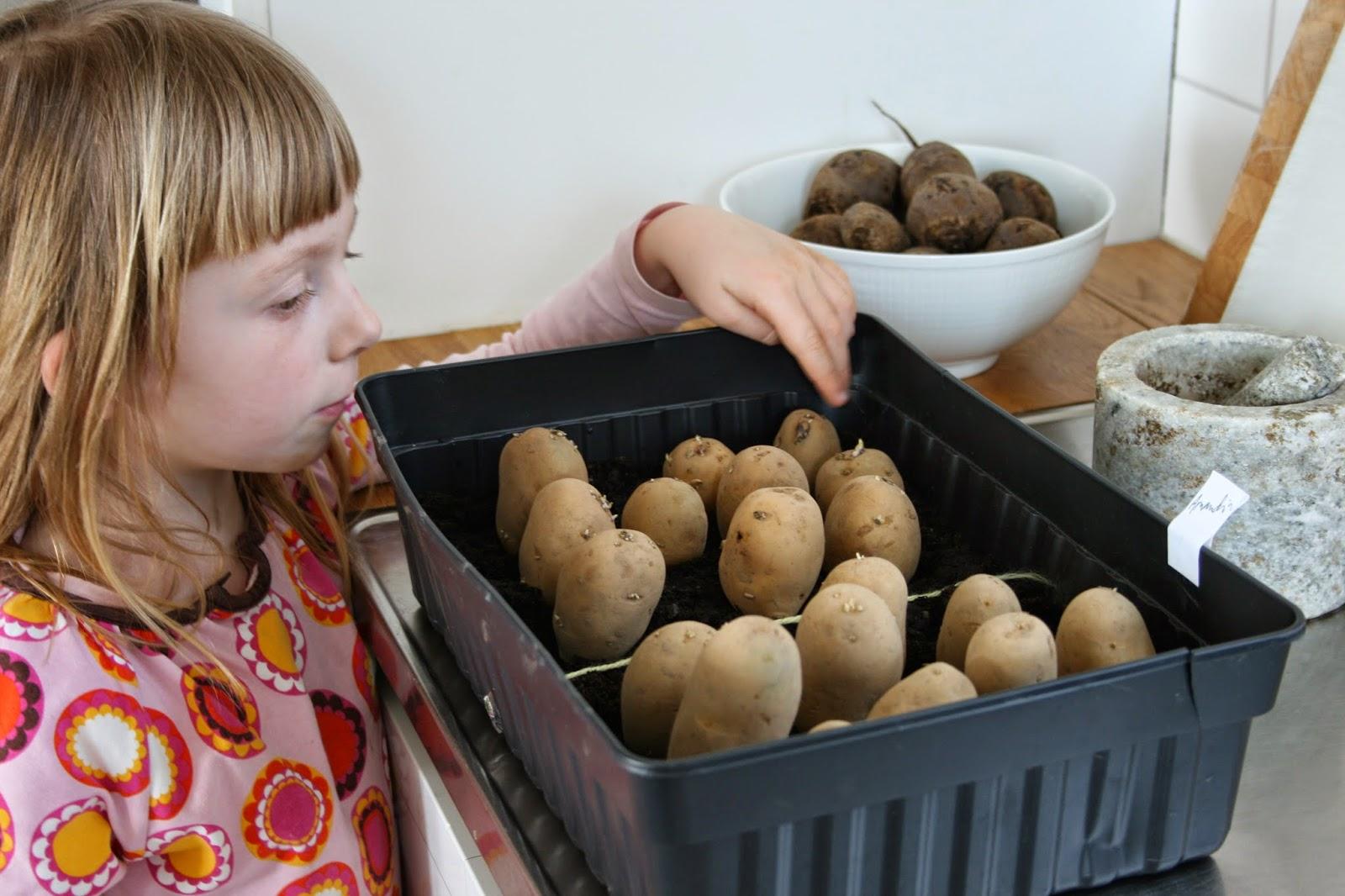 odla potatis