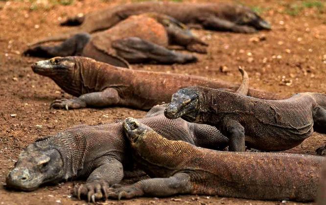 ancient animals - Komodo