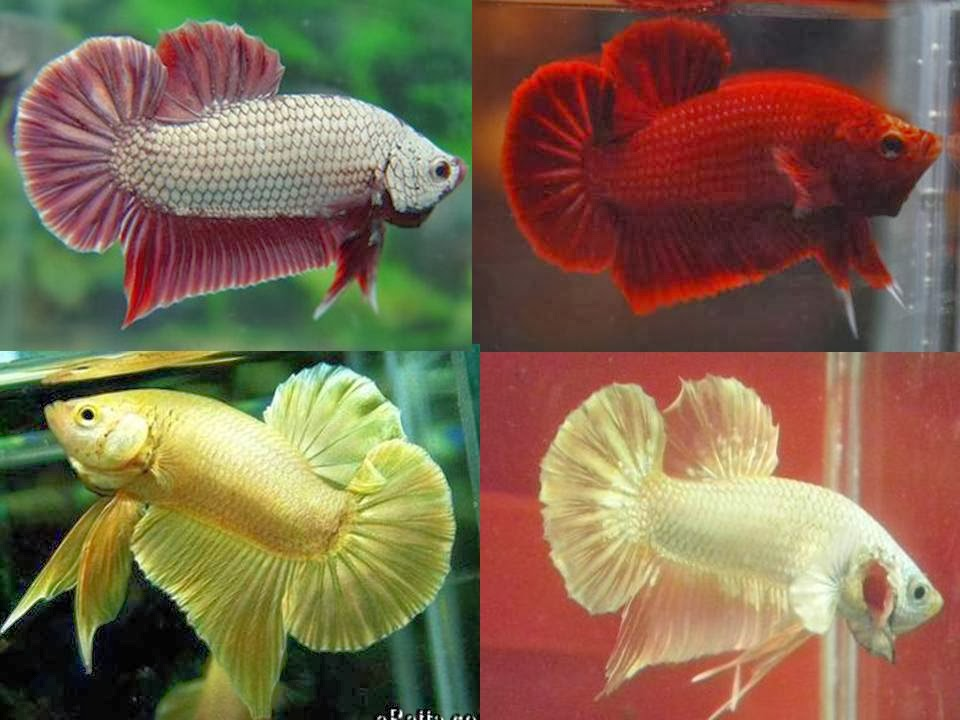 All about betta fish halfmoon plakats for All about betta fish
