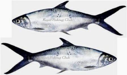 Tips Dan Trik Memancing Ikan Bandeng 1