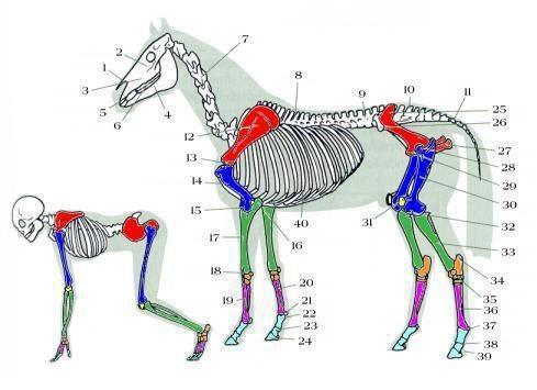 Estructura ósea de un caballo. | JINETE Y CABALLO