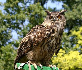 Buho - Fauna Iberica - Fauna Española - http://spanishfauna.blogspot.com.ees