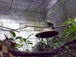 Menangkar Burung Cucak Ijo