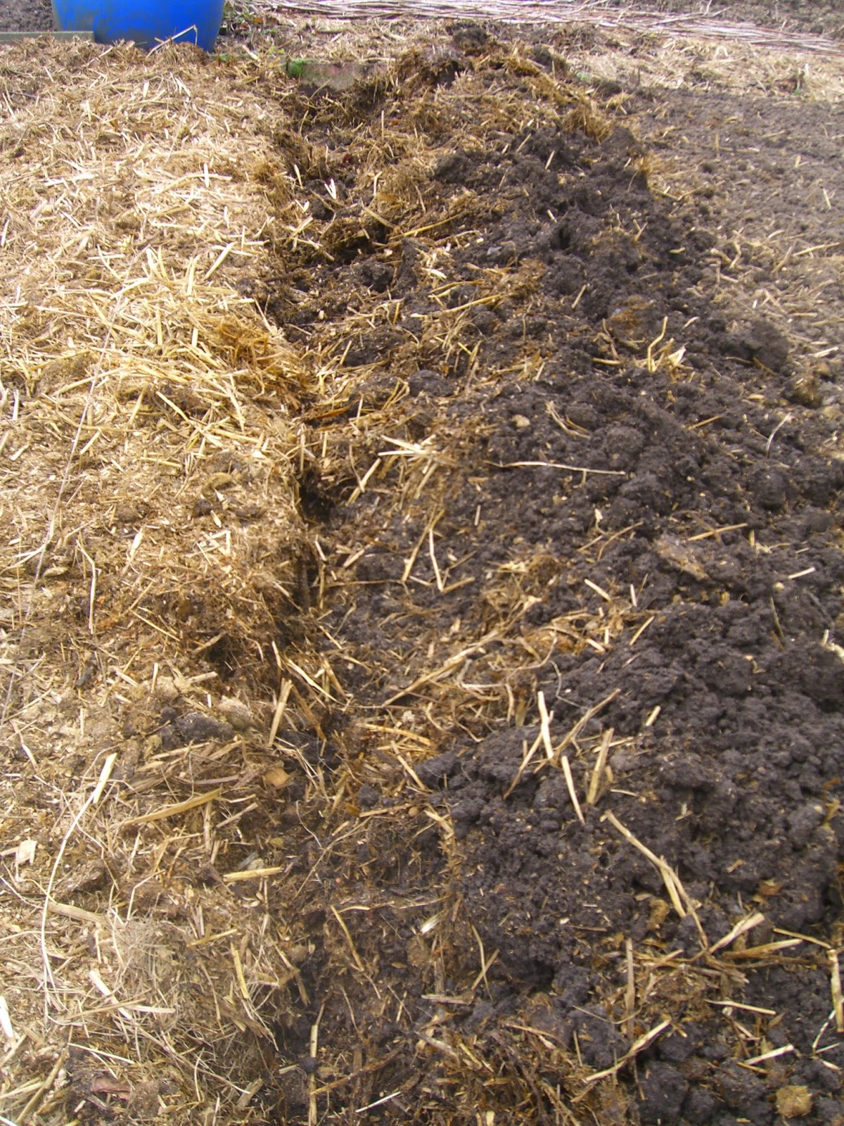 adding horse manure to potato bed manure laid over the topsoil and