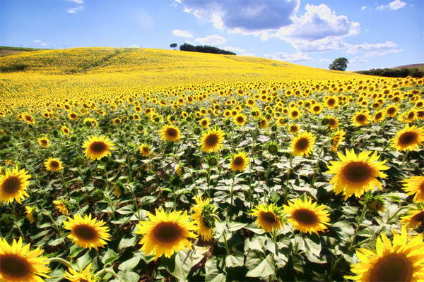Sunflower fields of Tuscany Italy