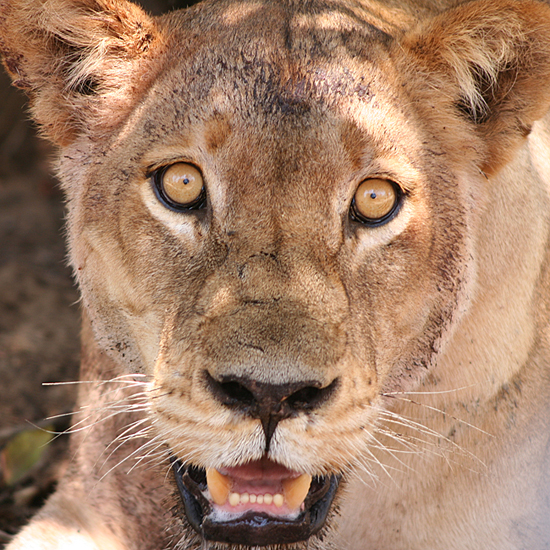 Safari Fusion blog | Queen of the jungle | The incredible African lion