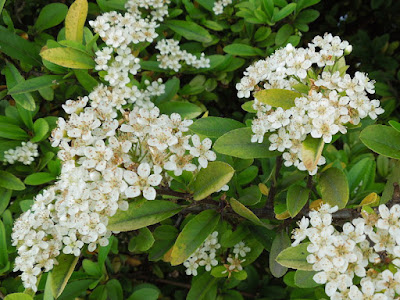 Pyracantha Flowers in May, © B. Radisavljevic