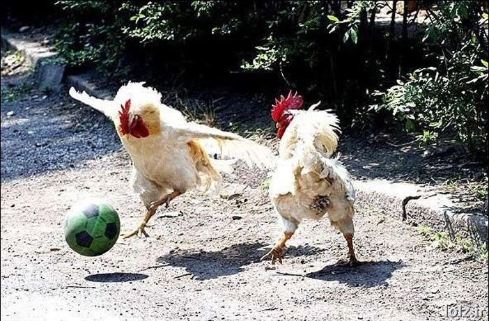 Funny animals playing soccer football funny animals euro 2012