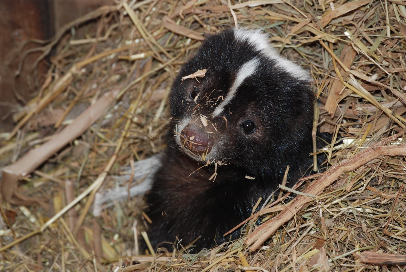 Striped skunk with wide fanned tail