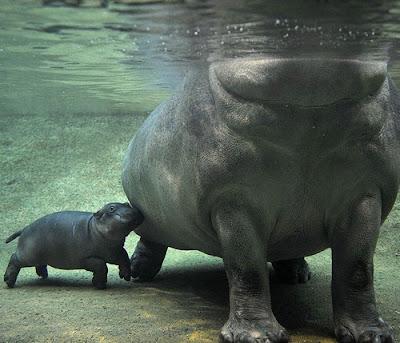 binatang terbesar di dunia - Kuda Nil