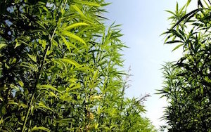 Hemp and Green Energy
