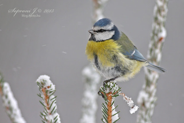 Kk cinege (Parus caeruleus)