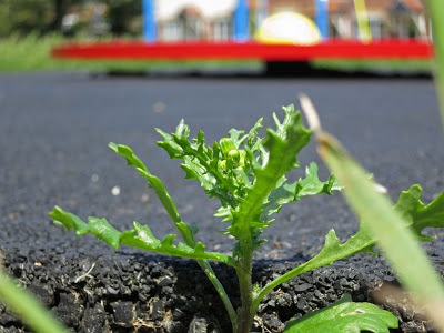 Groundsel growing at the edge of springy tarmac surface by bright children's roundabout.