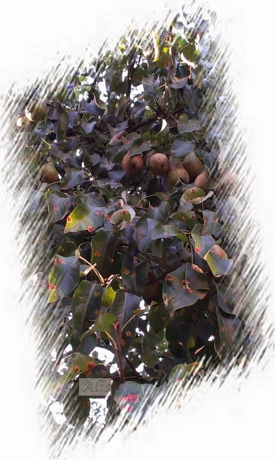 gruszka do fartuszka, zaraza