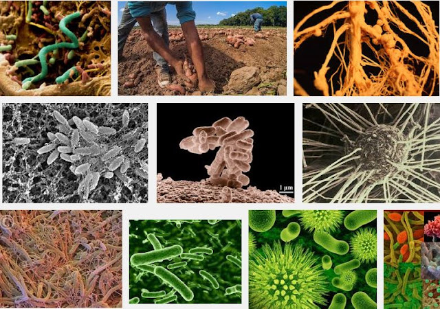 Soil bacteria