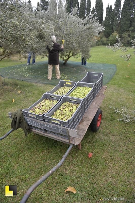 Récolte d'olive 2013 photo blachier pascal