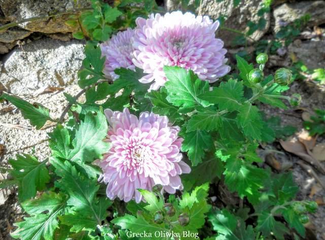 kwitnąca różowo-fioletowa chryzantema