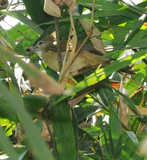 Ochraceous Bulbul (Alophoixus ochraceus)