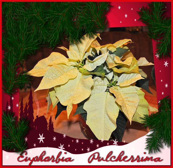kr nelinchens hobbys beliebte zimmerpflanzen im winter der weihnachtsstern. Black Bedroom Furniture Sets. Home Design Ideas