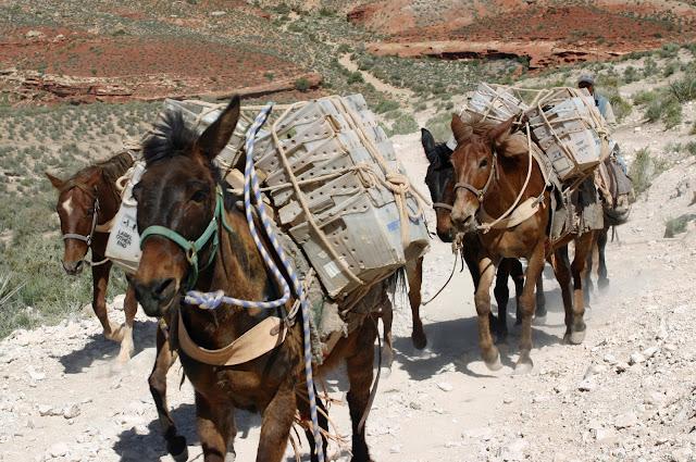 Kup pan muła - gwarantowany biznes w Mekce :-)